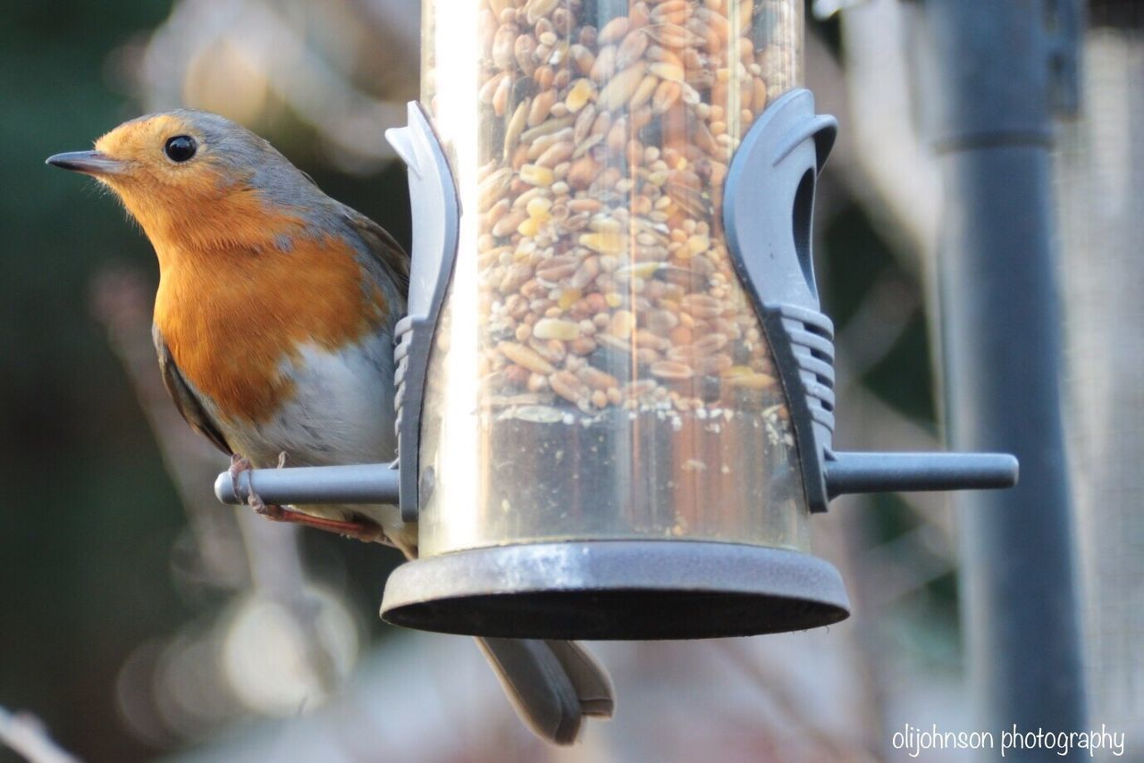 Bird Animal Themes One Animal Animals In The Wild Animal Wildlife Focus On Foreground Perching Day Beak No People Outdoors Sparrow Nature Robin Robin Redbreast