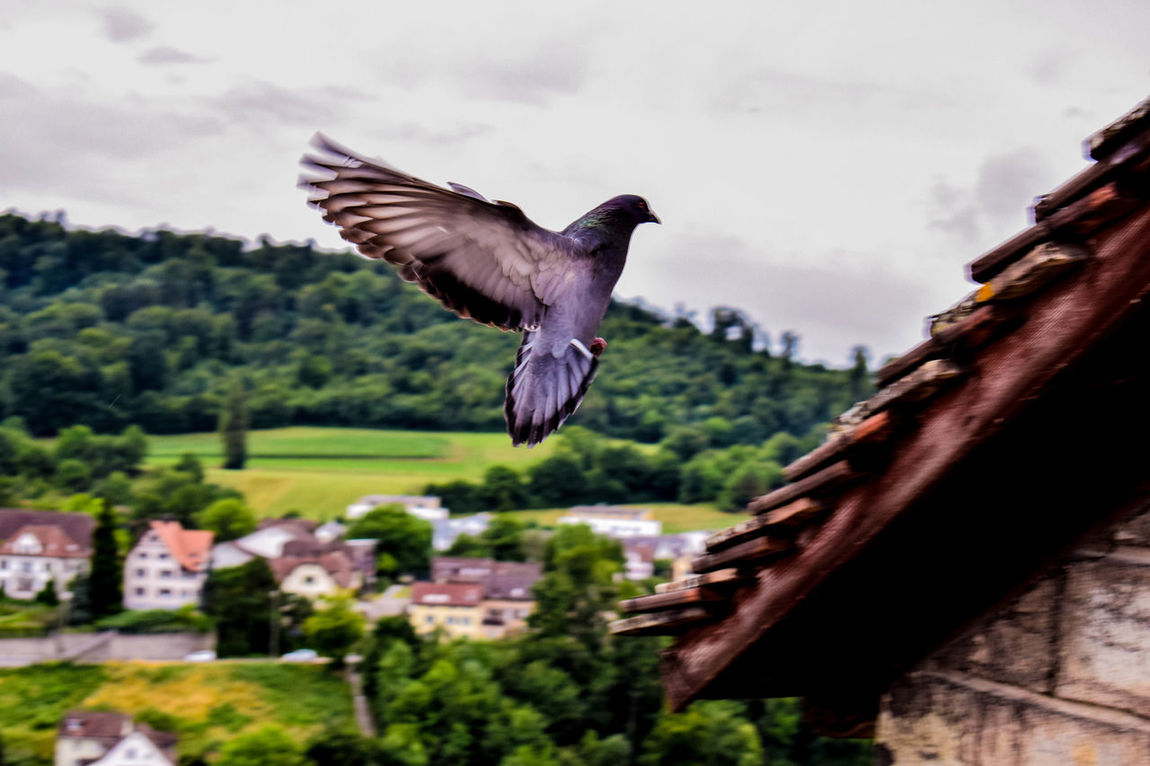 EyeEm Selects City Swiss Nikon Nikonphotography Green Blue Nature Bird Life Green Nikon Nikonphotography EyeEm Selects Flying Bird Spread Wings One Animal Mid-air Animals In The Wild Animal Wildlife Animal Themes Bird Of Prey Nature Outdoors Day No People Close-up Tree Architecture