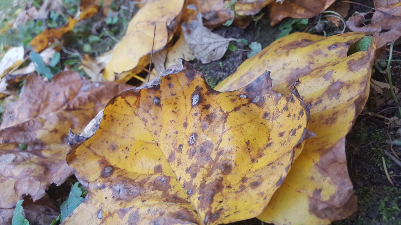 autumn, leaf, change, dry, leaves, nature, outdoors, fallen, close-up, day, fragility, no people, maple leaf, high angle view, yellow, maple, beauty in nature