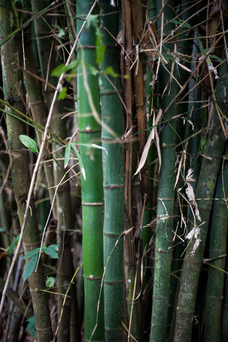 Bambu plant Bambu Bambu Plant Cane Day Green Growth Indonesian Leafs Nature No People Outdoors Plant Rainforest