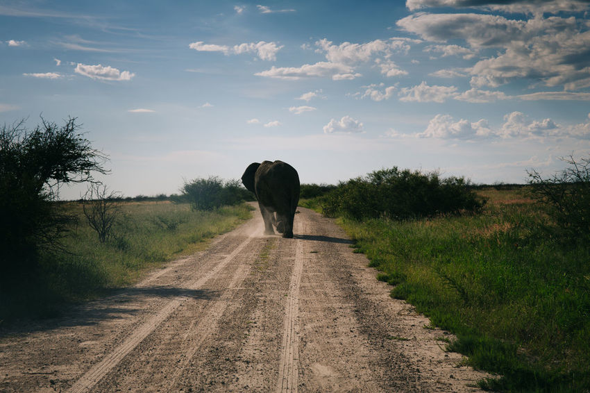 Road Trip Thru Namibia Africa African Animal Behind Country Road Diminishing Perspective Dirt Road Driving Elephant Elephants Field Freedom Full Length Grass Landscape On The Way Outdoors Road Road Trip Roadtrip Safari The Way Forward Travel Vanishing Point Wildlife