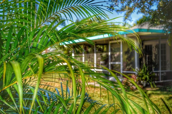 Our House Patio Porch Lanai Screen Room we planted that Palm 18 months ago. It was 2' tall. I was standing up behind it when I took this shot. Looking Through Palm Fronds Sunny Backyard