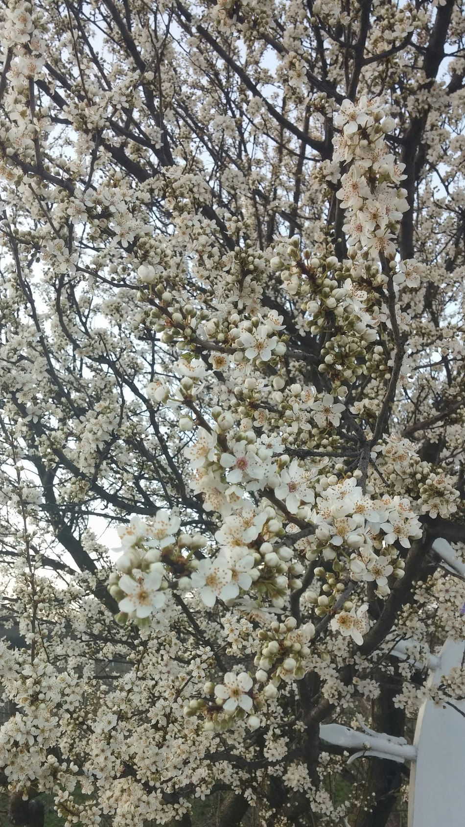Spring is coming 🌸 Blossoming Tree White Blossoms Blooming Spring Has Arrived Branches And Flower EyeEm Nature Lover Eye4photography  Urban Spring Fever
