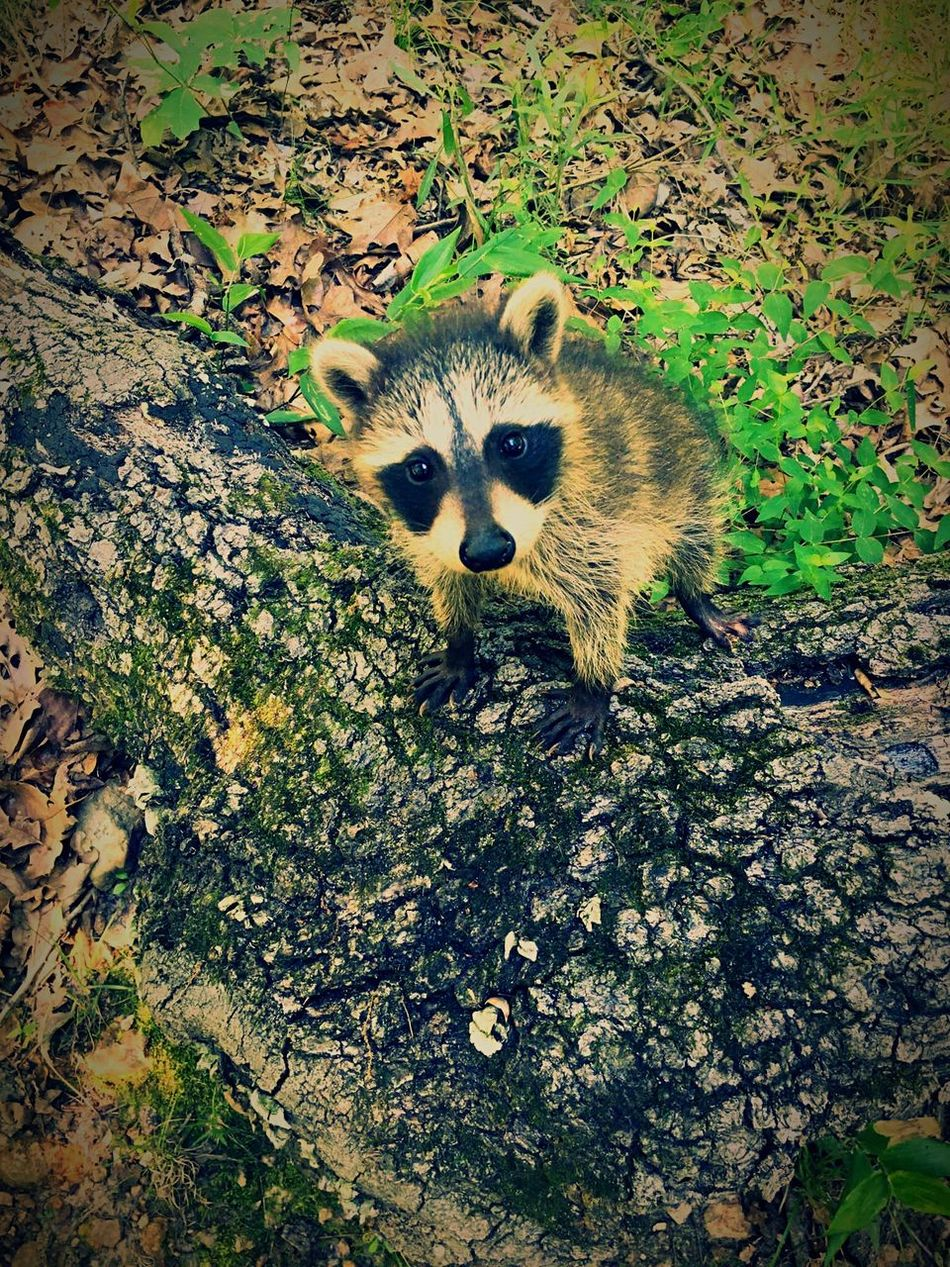 Baby Raccoons Baby Forest Animal Cute Missouri One Animal Mammal Animals In The Wild Looking At Camera Outdoors Raccoon Nature Animal Themes
