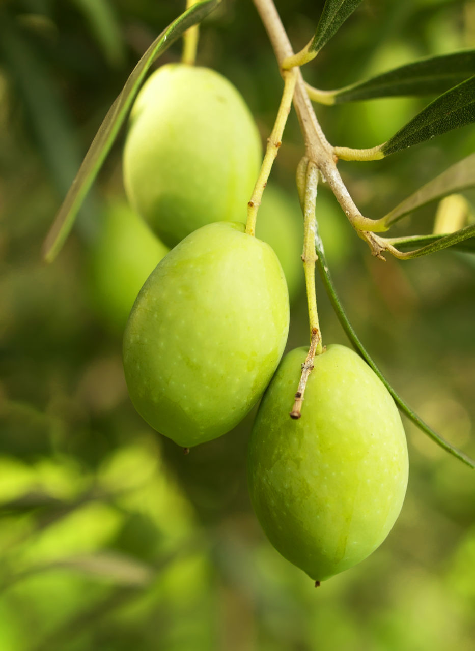 fruit, green color, food and drink, growth, food, focus on foreground, outdoors, day, healthy eating, freshness, no people, tree, close-up, unripe, hanging, nature