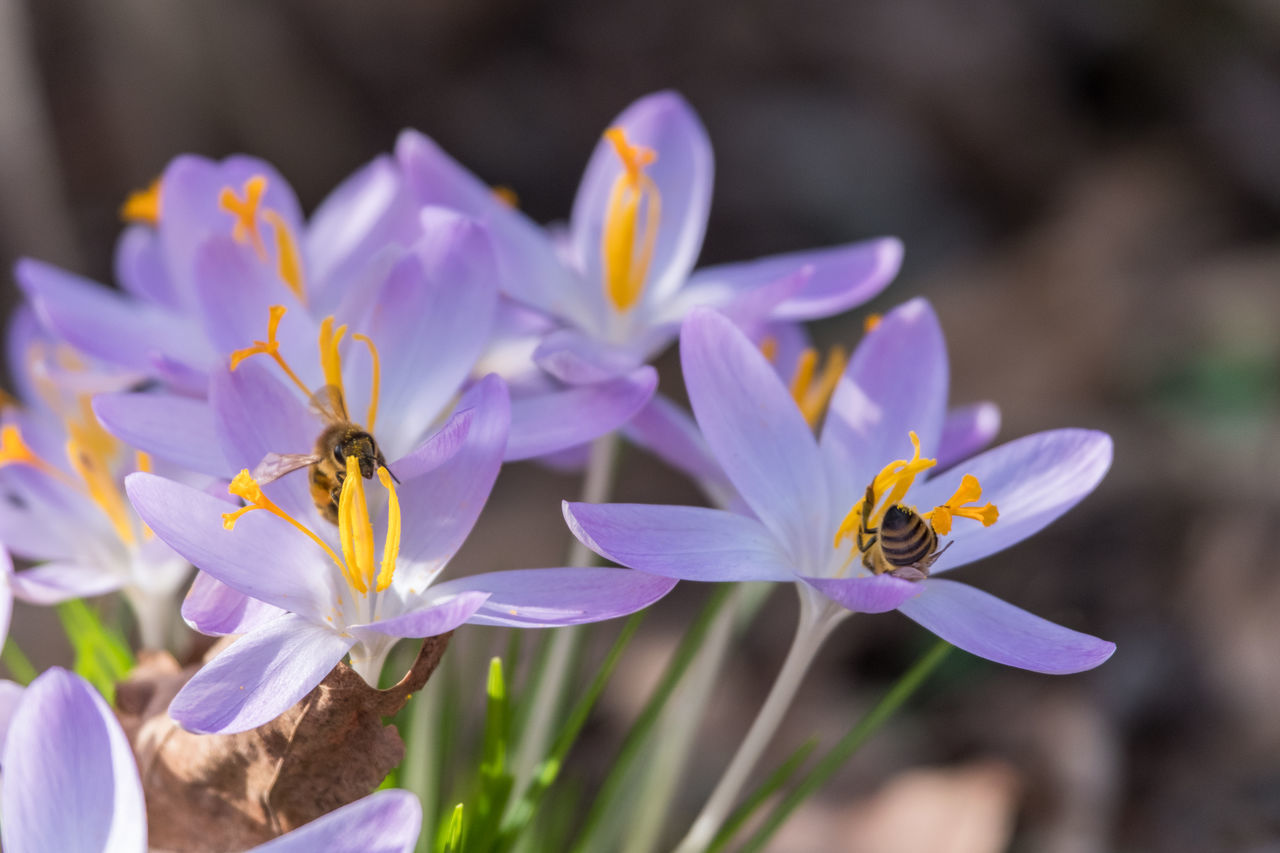 Animal Themes Animal Wildlife Animals In The Wild Beauty In Nature Blooming Buzzing Close-up Collecting Pollen Crocus Day Flower Flower Head Focus On Foreground Fragility Freshness Growth Insect Nature No People Outdoors Petal Pollen Pollination Purple Springtime