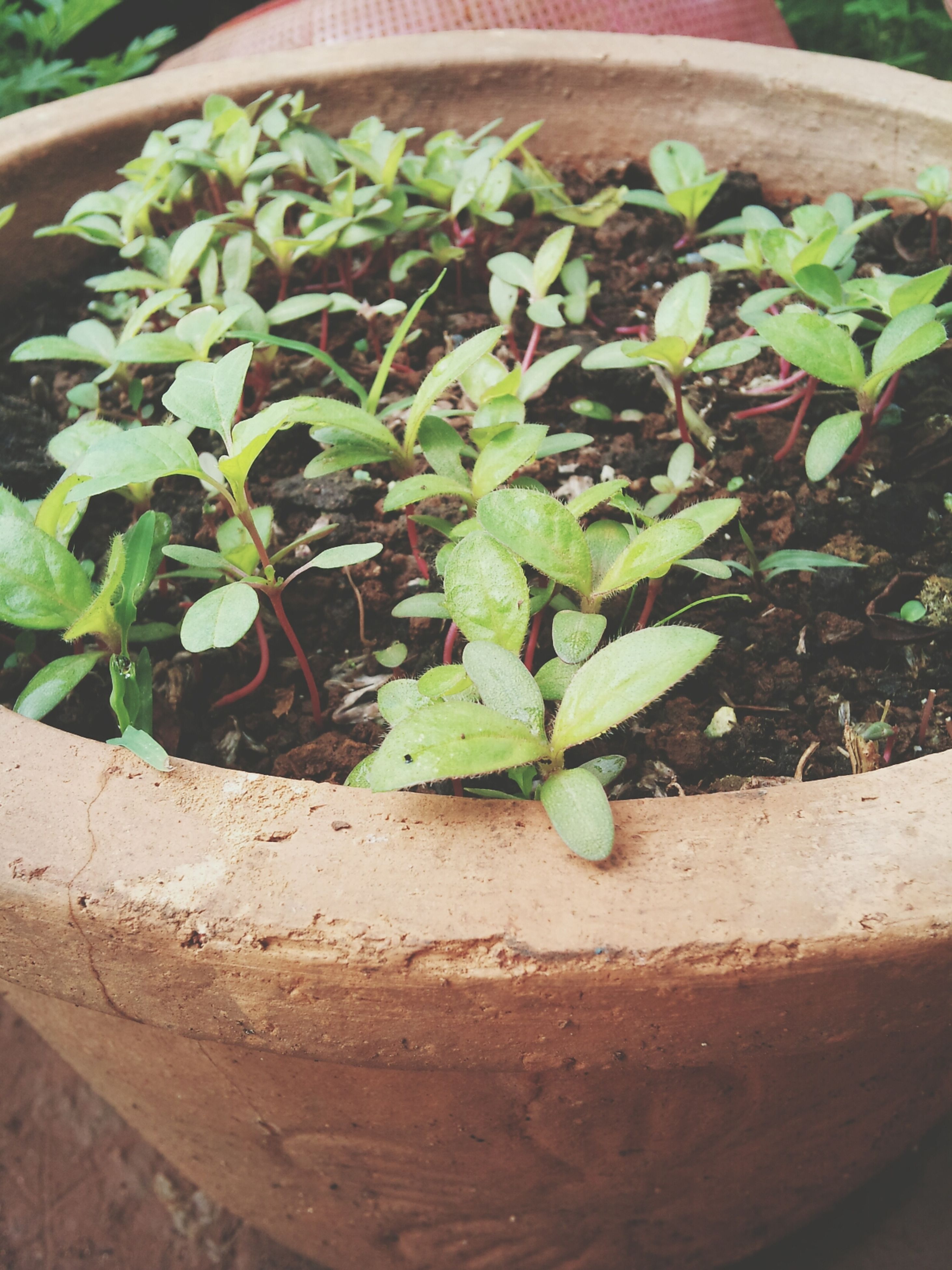 leaf, freshness, green color, plant, high angle view, growth, food and drink, food, vegetable, nature, healthy eating, close-up, potted plant, day, no people, table, outdoors, wood - material, green, growing
