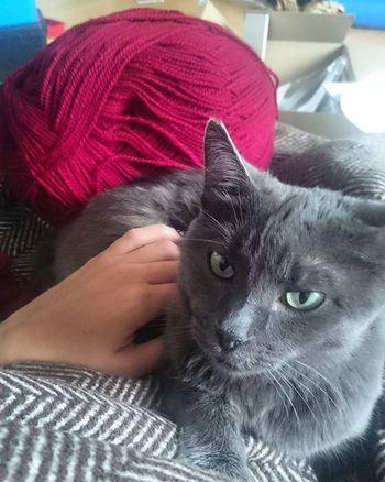 Zum Vergleich: 4kg Katze neben 400g Mutantenwollknäuel. Tshaga_the_cat Knitting