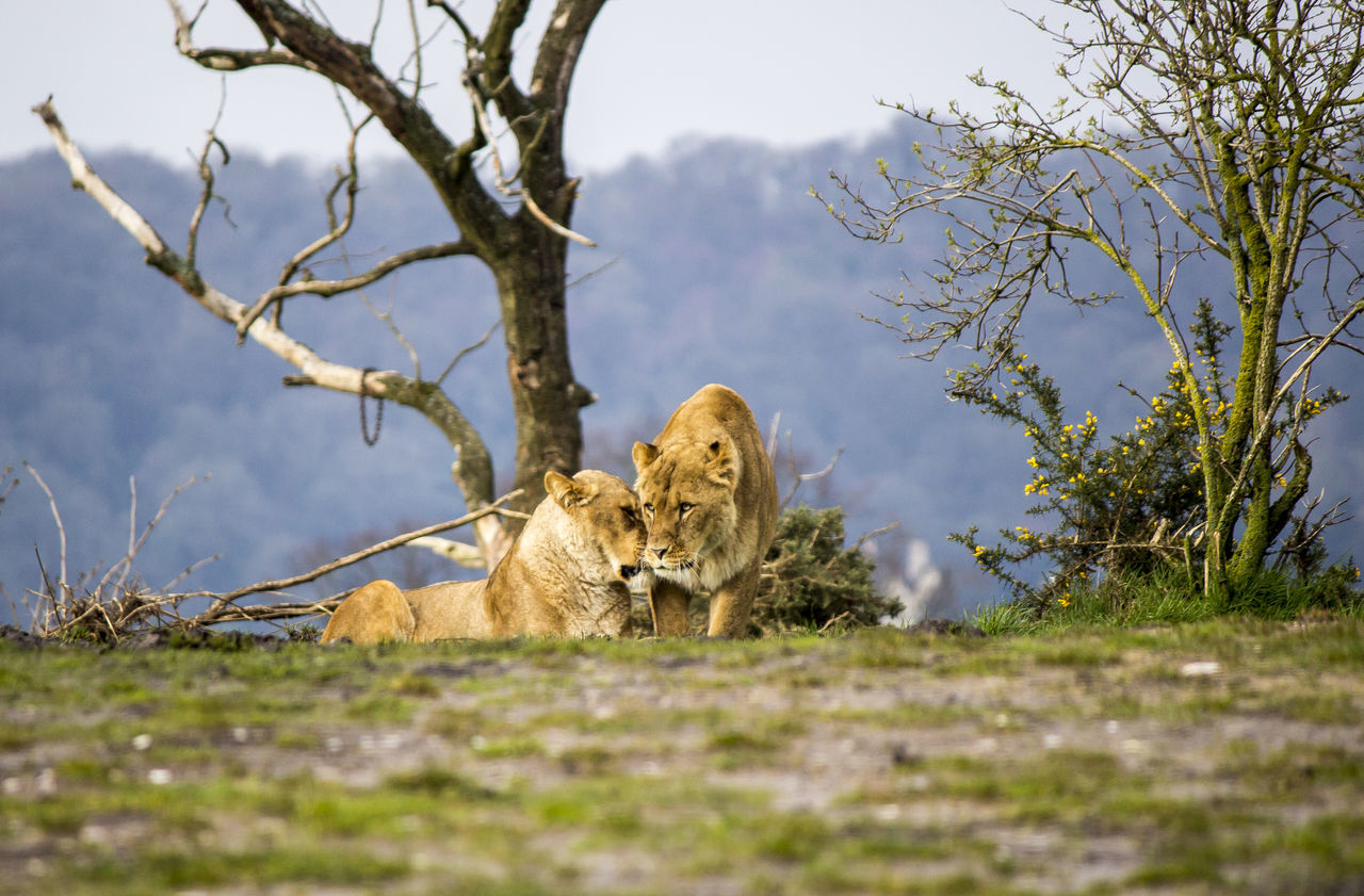 Depth Of Field Lion Lioness Lions Nature No People Outdoors Prowl Wildlife