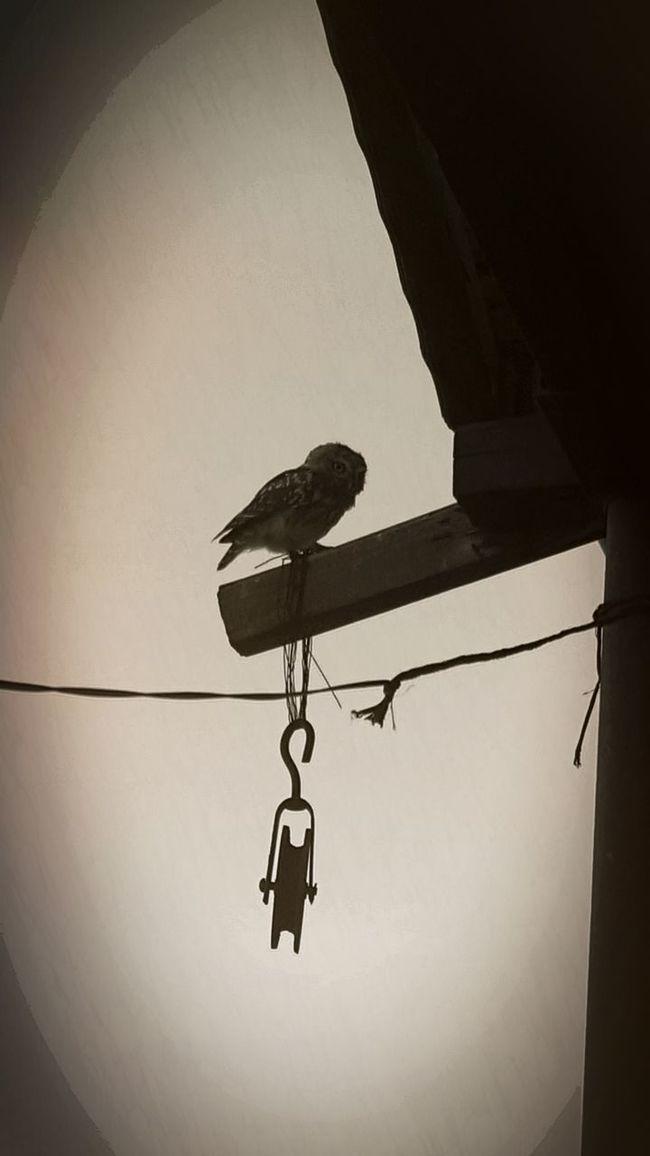 Owl, Baykuş, Roof, çatı , Penthouse, çatıkatı 🏡