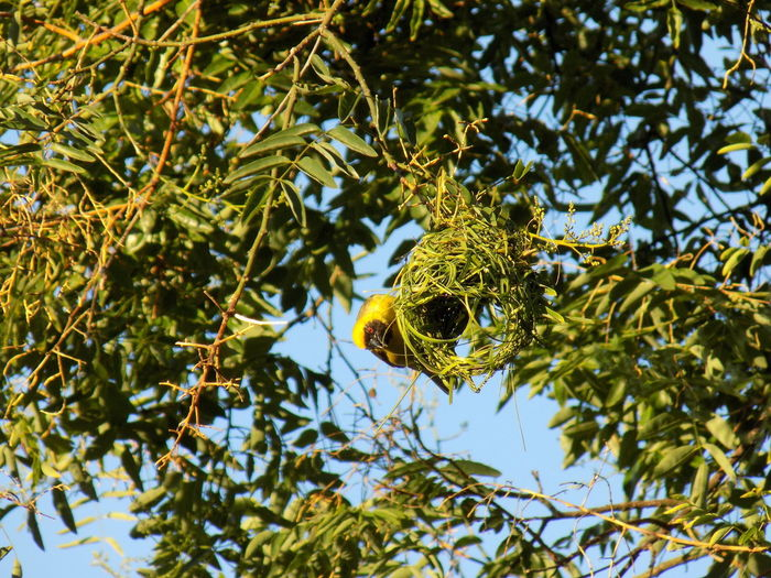 A male southern masked weaver (ploceus velatus) building his nest I Like Birds South African Bird Southern Masked Weaver Bird Animal Themes Animal Wildlife Animals In The Wild Bird Birds Branch Close-up Day Focus On Foreground Green Color Leaf Low Angle View Nature Nest No People One Animal Outdoors Perching Springtime Tree Yellow