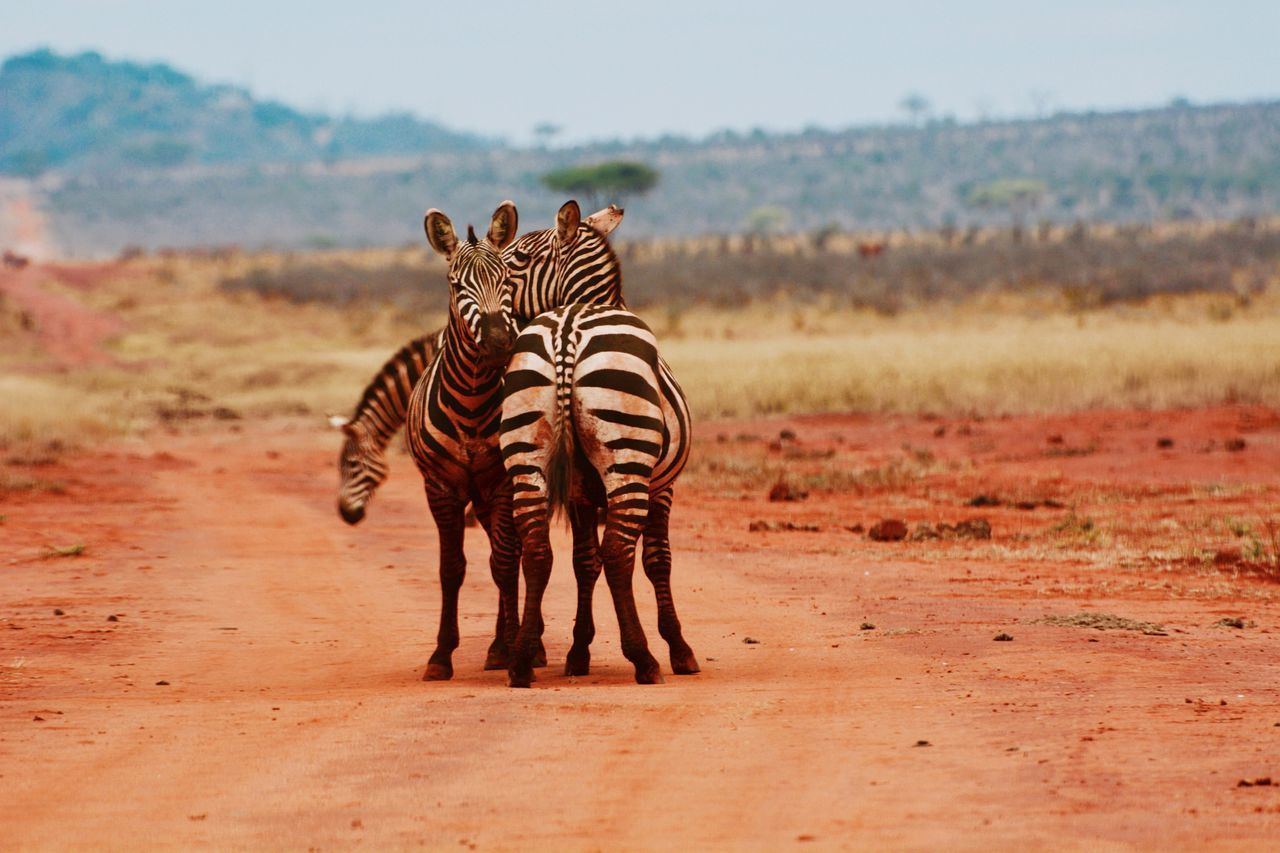 Best friends.. Tsavo .. Zebra