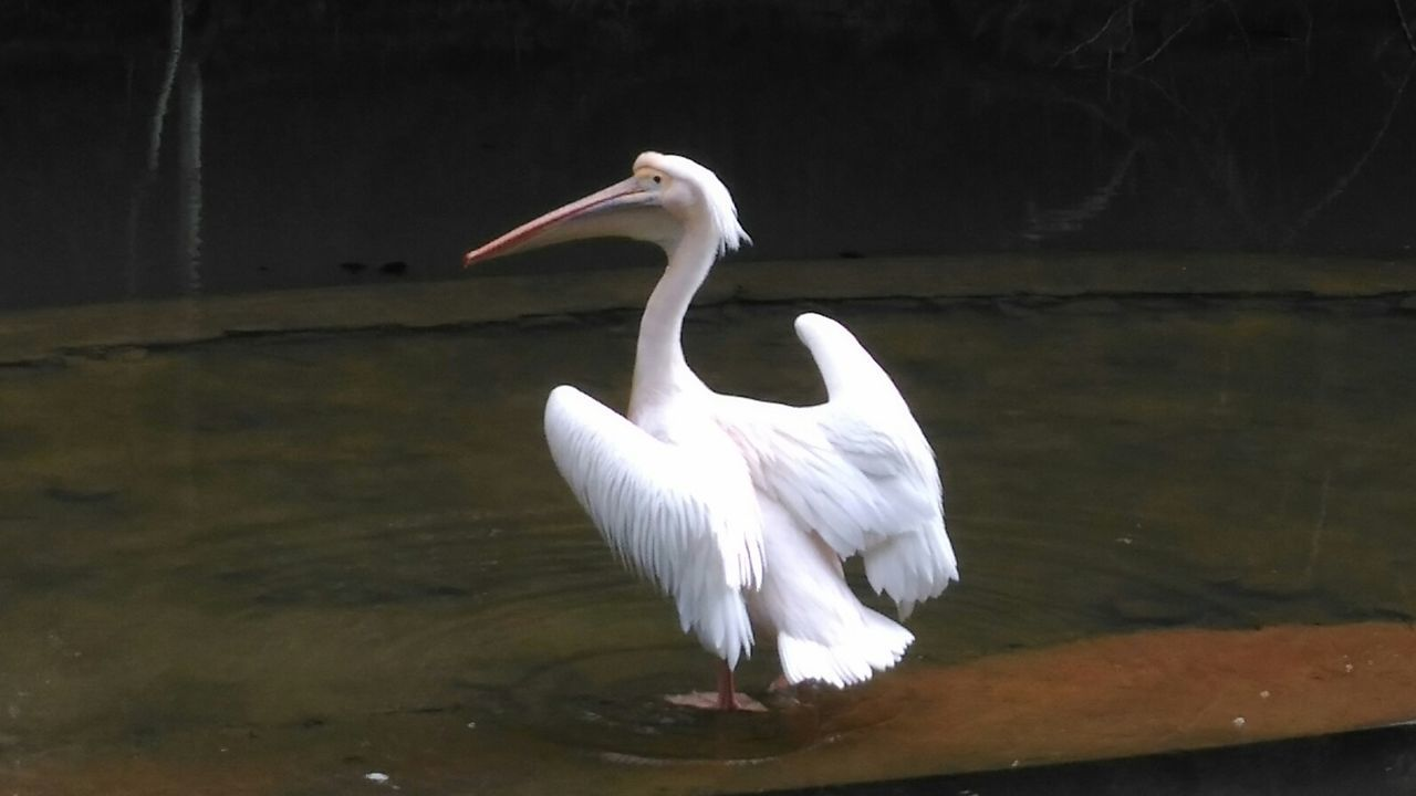 White Color Bird Water Animal Wildlife Animals In The Wild One Animal Full Length Lake Great Egret Ibis Outdoors No People Nature Day Close-up