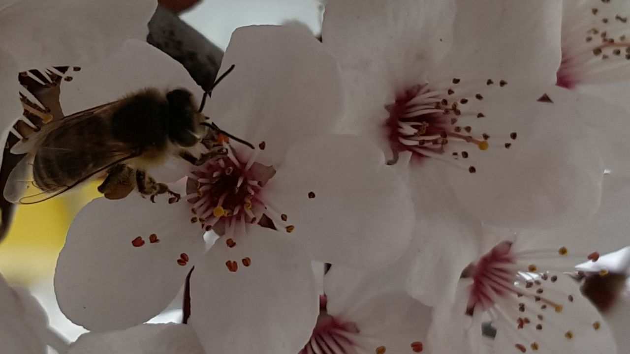 flower, petal, fragility, beauty in nature, insect, nature, white color, bee, animal themes, pollen, animals in the wild, freshness, flower head, no people, one animal, stamen, close-up, growth, day, pollination, outdoors
