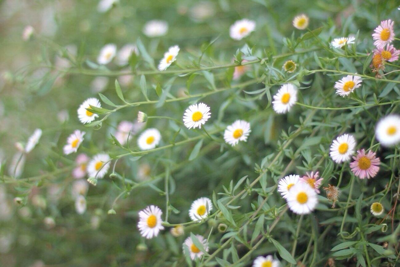 Daisyflower Daisy Flower