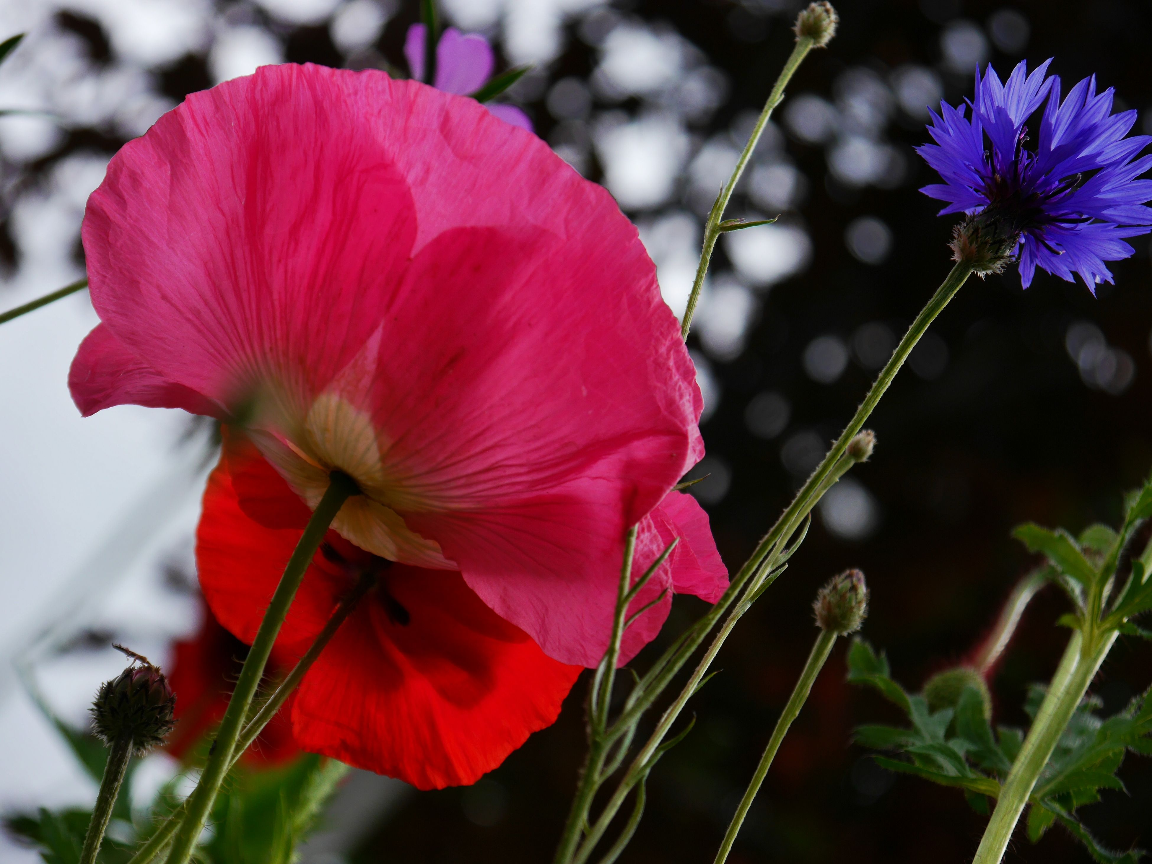 flower, freshness, fragility, petal, growth, focus on foreground, flower head, beauty in nature, close-up, plant, nature, stem, blooming, pink color, in bloom, blossom, day, outdoors, selective focus, no people