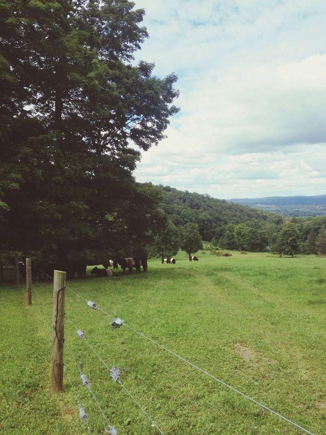 Moo. Cows Moo Farm