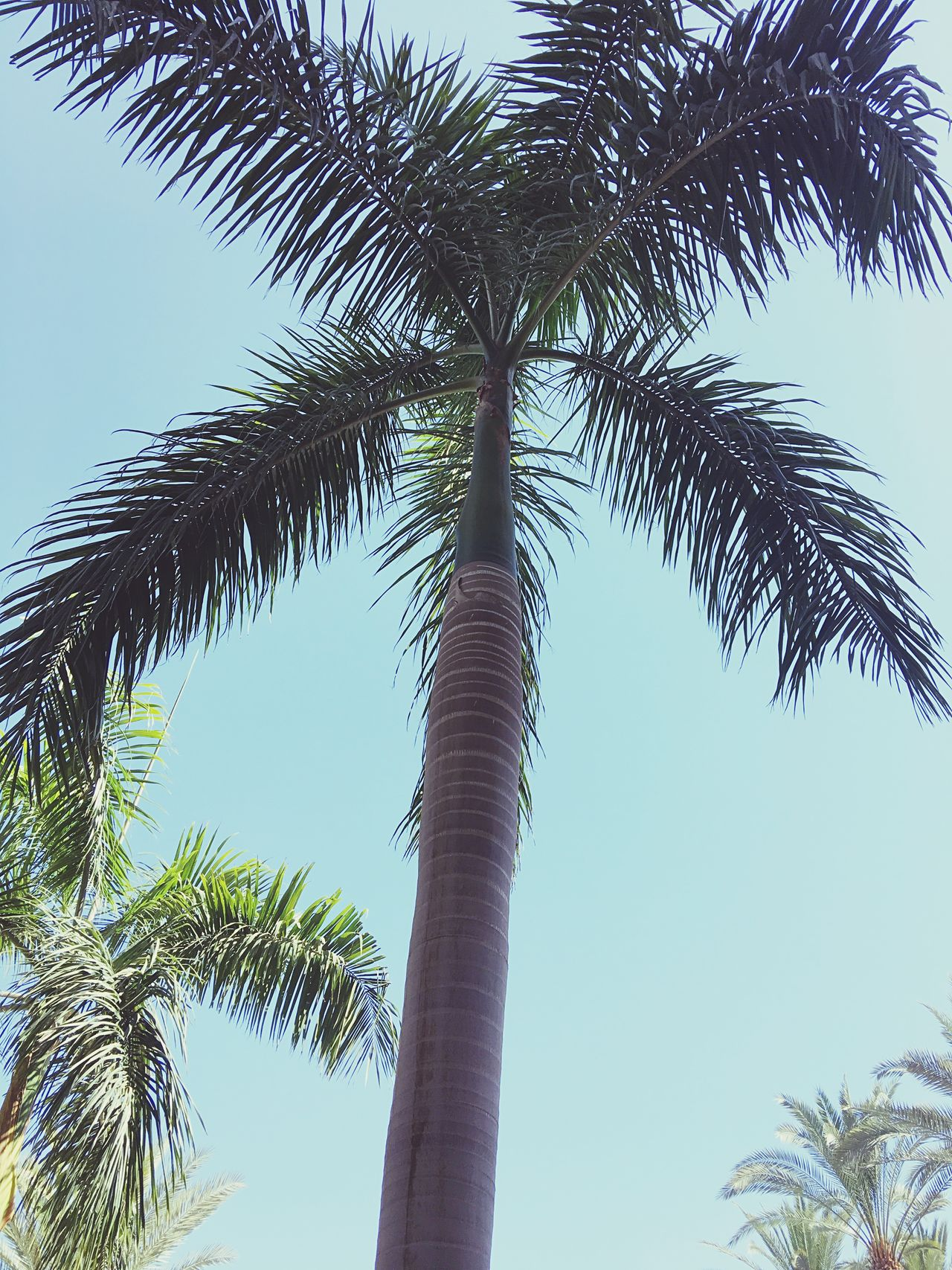 Palm Tree Tree Tree Trunk Low Angle View Palm Frond Growth Day Tall Nature Outdoors Clear Sky Sky Leaf Beauty In Nature No People Branch Travel Vacations Summer Relaxation