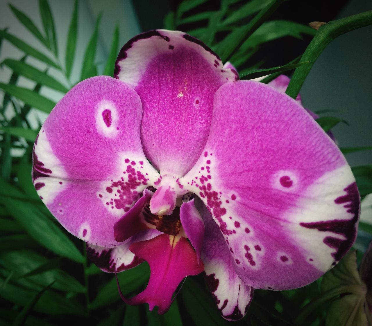 Orchids Orchid Flower Diva Diva♥ Pink Flower Pink Color Pink And White