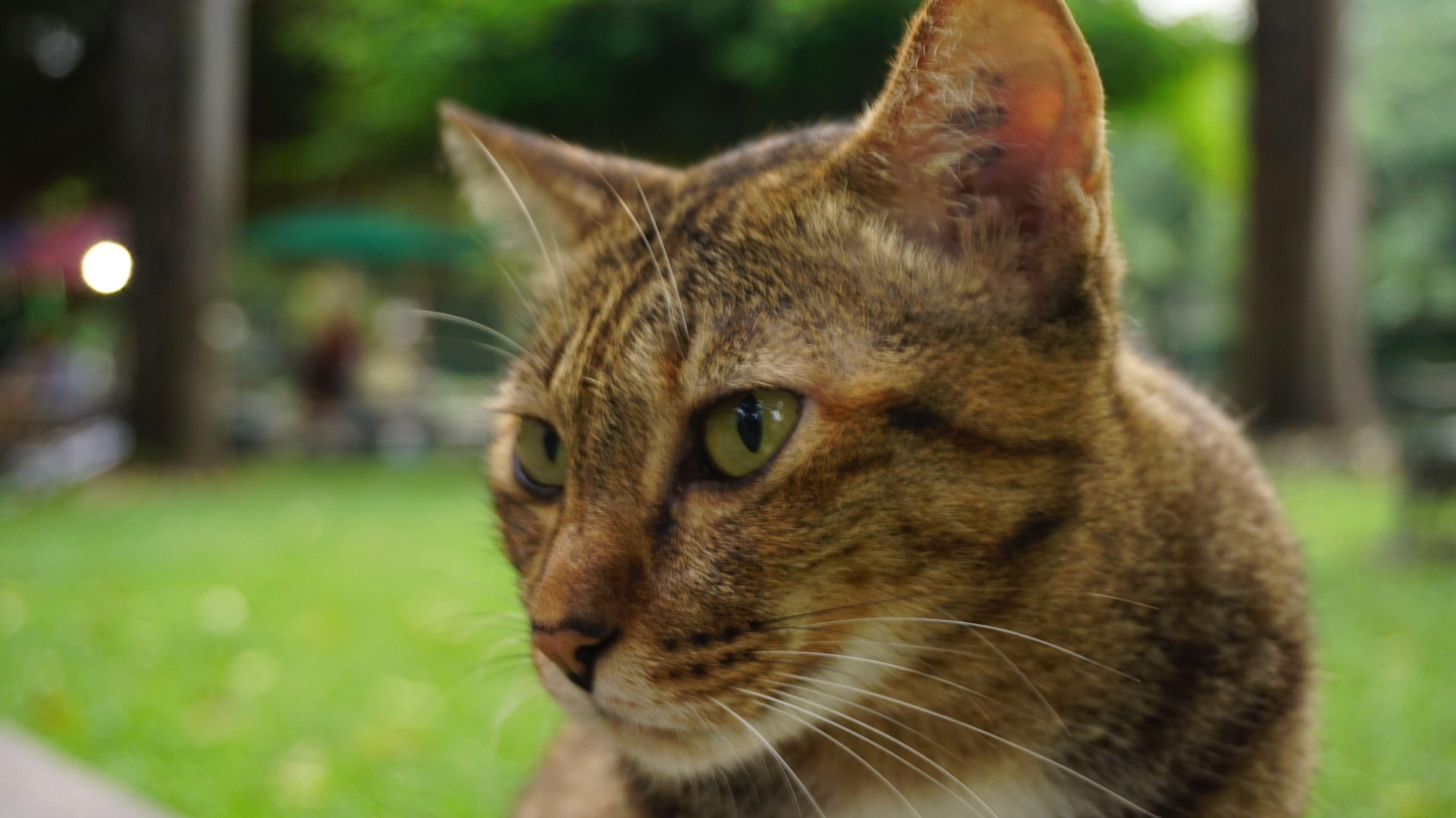 one animal, animal themes, domestic cat, pets, domestic animals, cat, close-up, looking away, mammal, whisker, animal head, feline, curiosity, alertness, focus on foreground, animal eye, zoology, animal nose, no people, whiskers, animal