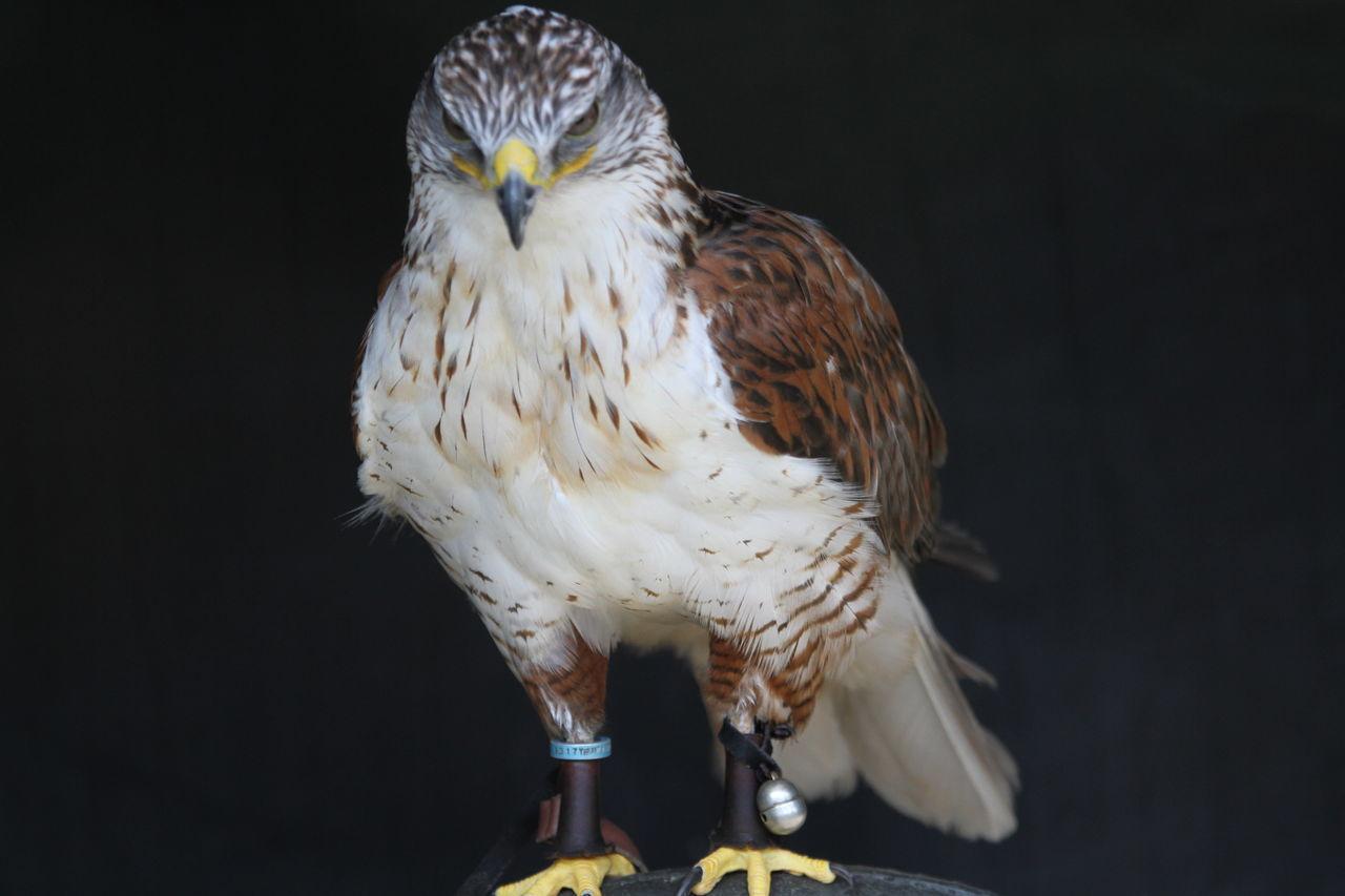 Beautiful stock photos of hawks, Animal Themes, Animals In The Wild, Beak, Bird