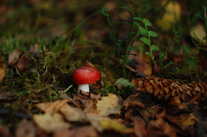 Beauty In Nature Close-up Day Depth Of Field Dof Dof Nature Field Forest Forest Photography Fragility Freshness Fungus Growing Growth Mushroom Nature No People Outdoors Plant Red Selective Focus Surface Level Toadstool Tranquility Uncultivated