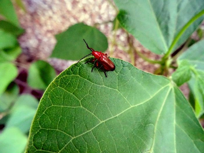 Insect Leaf One Animal Animals In The Wild Plant Beauty In Nature Close-up Bugs And Insects Bug Life Beetlebug Beetlebeetle Eyeemnaturelover Eyeem Nature Lover Eyeemphotography Naturenature Lovers Macro Tattooman Tattooedfingertips Nature