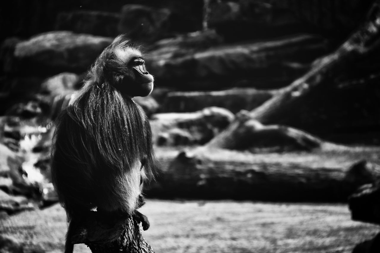 the guard Animal Ape Baboon Baboon Portrait Blackandwhite Portrait Blackandwhitephoto Close-up Guard Guardian Nature Outdoors Poetic Portrait Portrait Black And White Portrait Of An Ape Protect Family Protecting Where We Play Protection