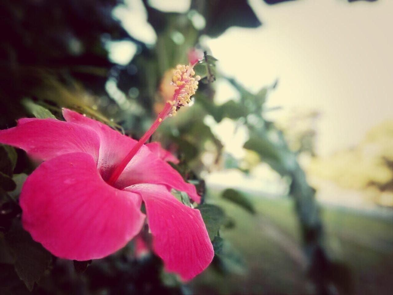 Hibiscus = Malaysia Nature Flowers