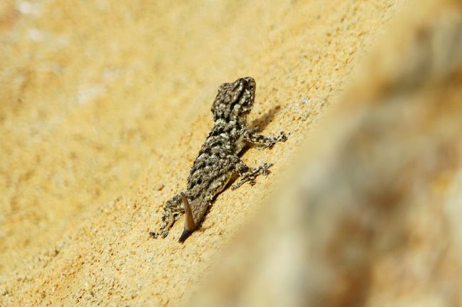 Animal Themes One Animal Animals In The Wild Wildlife Reptile Lizard Close-up Selective Focus Rock - Object Zoology Outdoors Nature Full Frame No People Rugged Lizard Nature Rock Crawling Lizard Nature Sand
