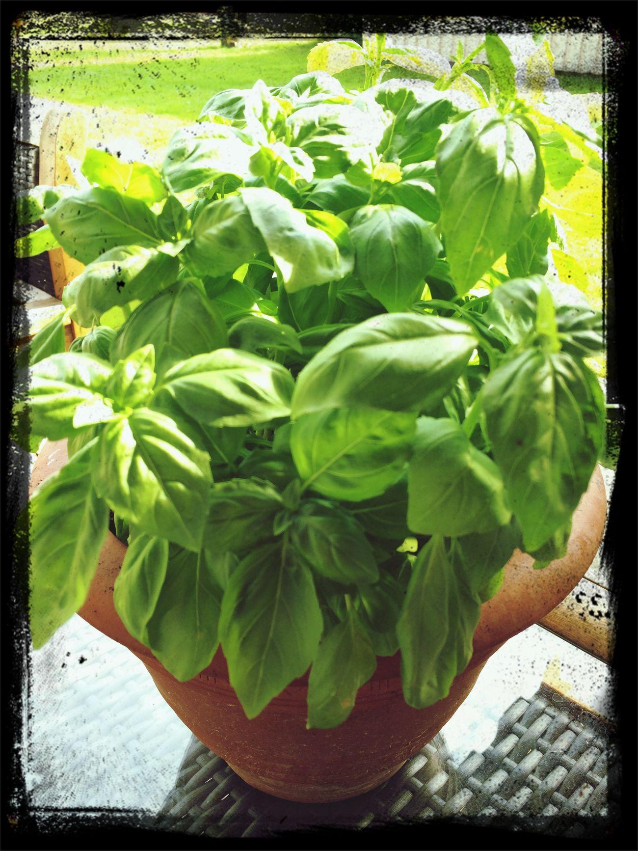 Basil Urban Gardening Soaking Up The Sun Summer