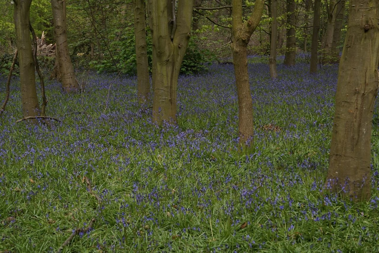 Bluebell Woods at Speke Abundance Beauty In Nature Bluebell Wood Forest Grass Grassy Green Color Growth Idyllic Lush Foliage Nature No People Non-urban Scene Outdoors Scenics Tranquil Scene Tranquility Tree Tree Trunk WoodLand