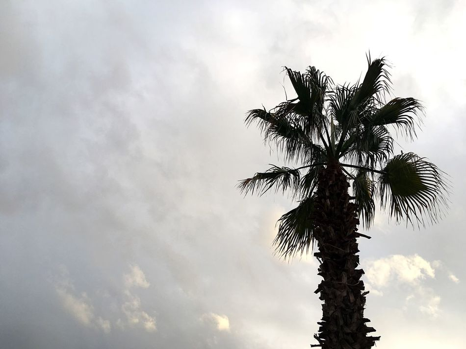 Palm Tree Palm Tree And Sky Palm Against Sky Maltese Nature