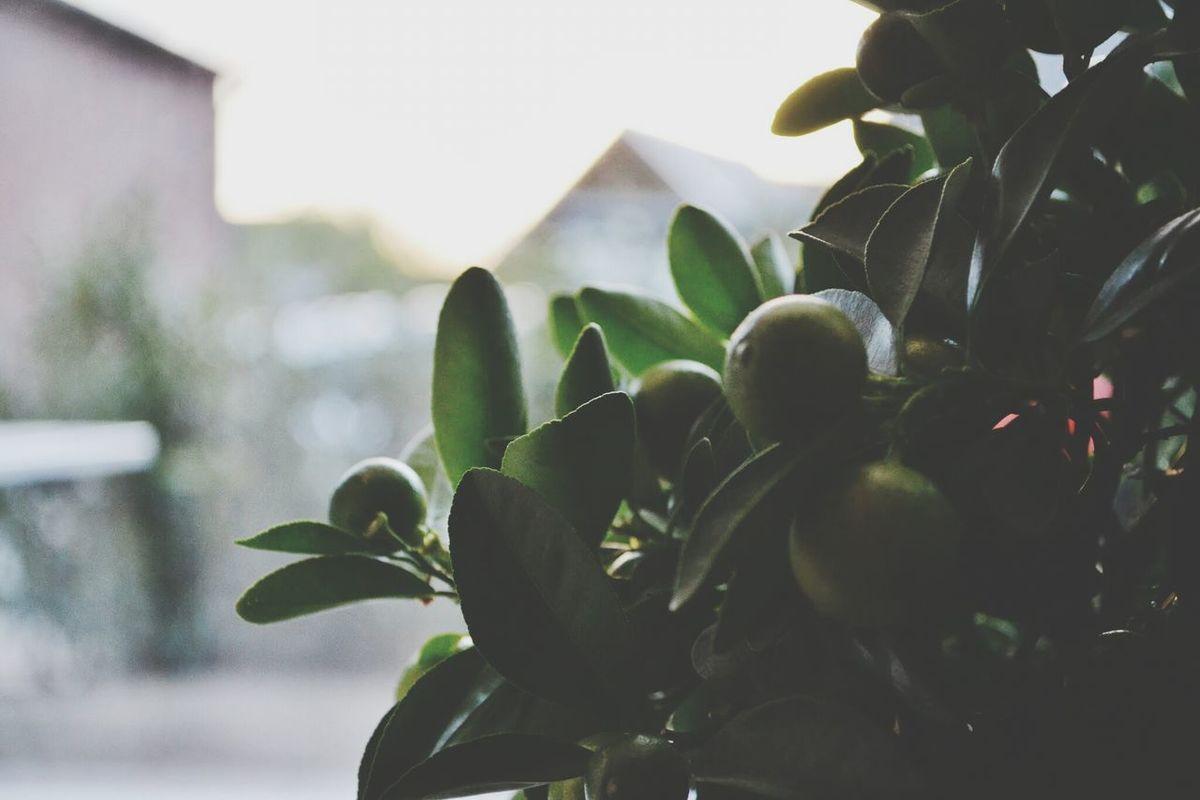 Home Sweet Home Citrus  Tree