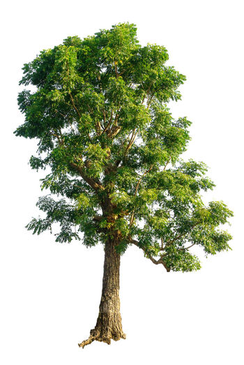 Azadirachta Indica Isolated Neem Tree Branch Clear Sky Day Growth Lone Nature Neem Tree No People Outdoors Tree White Background