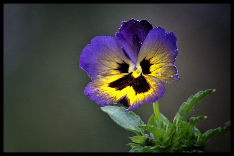 Flower Flower Face Nature On Your Doorstep Flowers Of EyeEm Flower Collection Flower Photography Yellow Flower Purple Flower Purple And Yellow Yellow And Purple Pansy Pansies Pansy Faces Purple Pansy Wild Flowers Botany Beauty In Nature Natures Magic The Great Outdoors - 2016 EyeEm Awards EyeEm Gallery EyeEm Best Shots - Nature Colour Of Life Our Best Pics EyeEm Flower Nature_collection