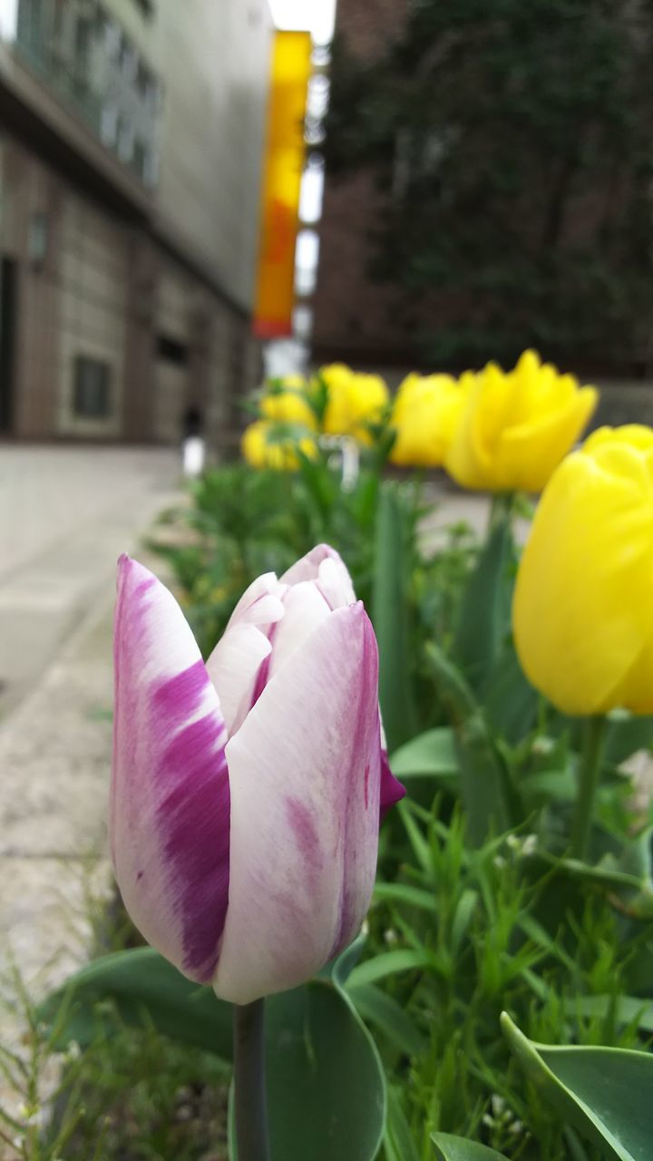 flower, petal, fragility, freshness, flower head, nature, beauty in nature, close-up, growth, blooming, focus on foreground, tulip, plant, no people, day, yellow, pink color, outdoors, springtime, crocus
