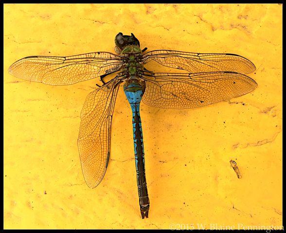Wounded Warrior Dragonfly Mosquito Hawk Damaged - EyeEm - 웹