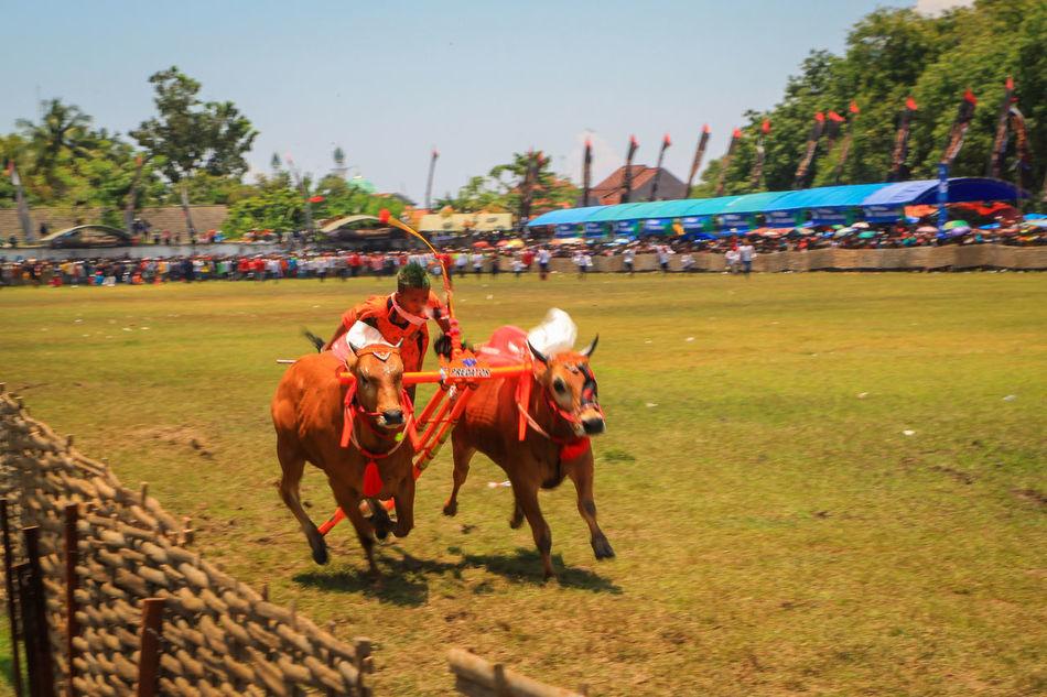 Karapan Sapi Competition Bull Racing Traditional Racing Madura Island Traditional Culture Culture Cultural Heritage Heritage Culture And Tradition Cultures Indonesia Culture Traditional