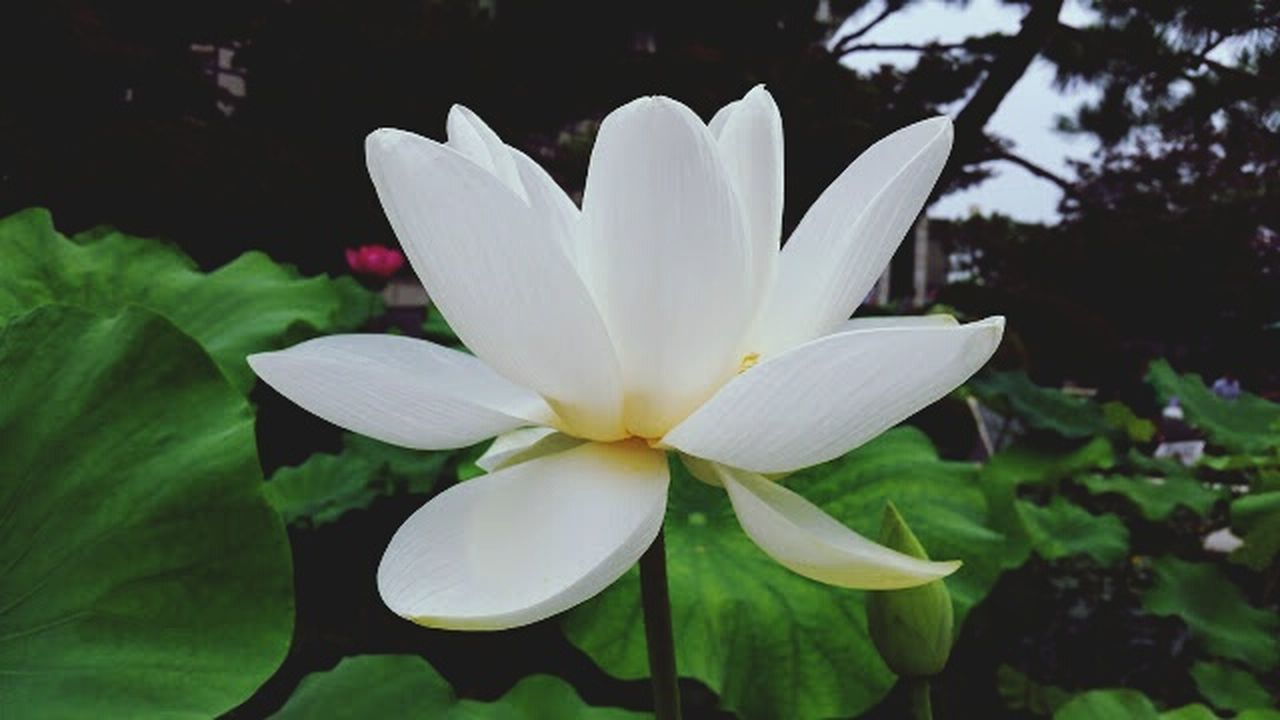 flower, petal, beauty in nature, flower head, nature, freshness, fragility, growth, white color, leaf, no people, close-up, day, plant, outdoors, blooming, frangipani