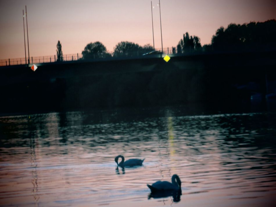 Animal Themes Animals In The Wild Beauty In Nature Bird Calm Evening Atmosphere Main Nature Night Lights Nightphotography Offenbach Am Main Relaxing Moments River Silhouette Sunset Swimming Tranquil Scene Tranquility Water Water Reflections