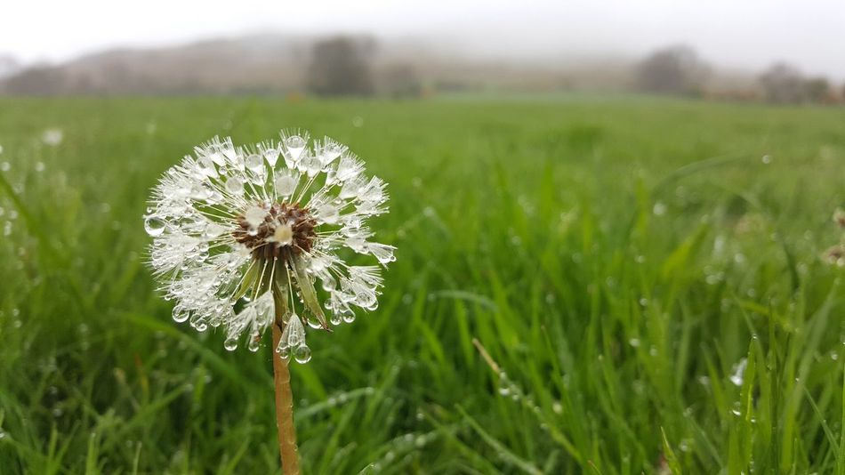 Solitary Dandelion In A Field After Rain