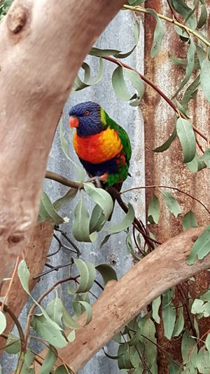 Colourful! Multi Colored Rainbow Lorikeet Parrot Nature Bird Perth Perth Australia Caversham Wildlife Park Colourful Nature Birds Rainbow Colors