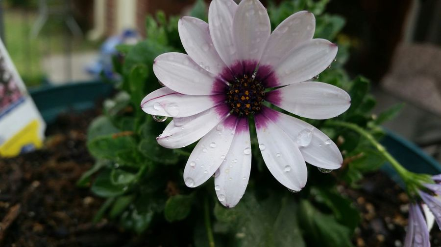 Flower African Daisy White Color Flowers Gardening Flower Garden Water Drops