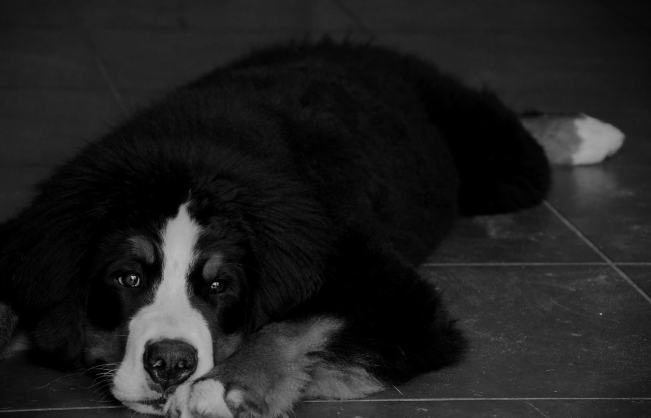 pets, dog, domestic animals, one animal, animal themes, mammal, relaxation, indoors, lying down, no people, portrait, close-up, day