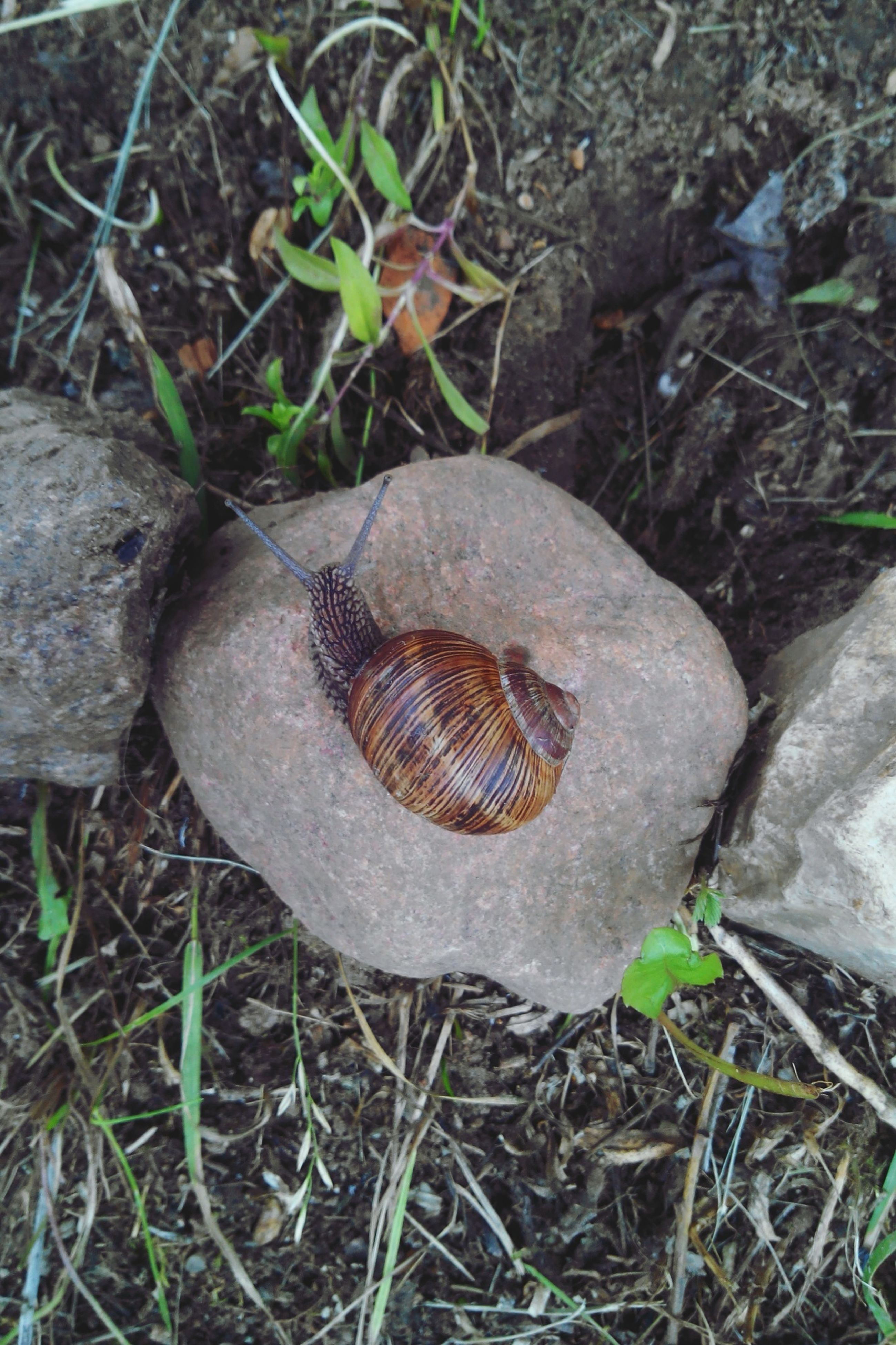 animal themes, animals in the wild, one animal, wildlife, high angle view, animal shell, nature, grass, snail, field, close-up, ground, day, outdoors, rock - object, no people, shell, full length, plant, mollusk