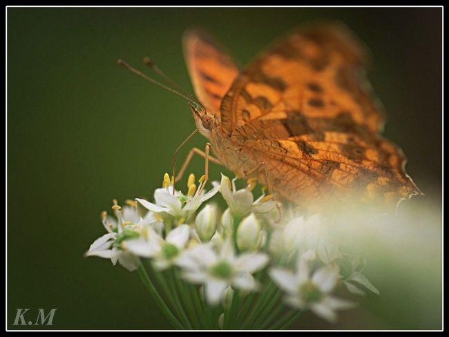 キタテハチョウ Butterfly Tadaa Community Karatsu 勝蝶 蝶