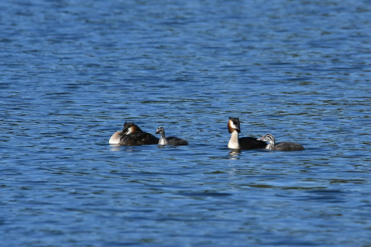 animals in the wild, bird, swimming, young bird, water, animal themes, animal wildlife, no people, nature, waterfront, lake, water bird, young animal, day, outdoors, togetherness, swan