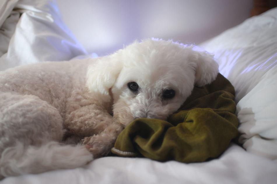 Bichon Frise Bichonfrise Bichon Dog