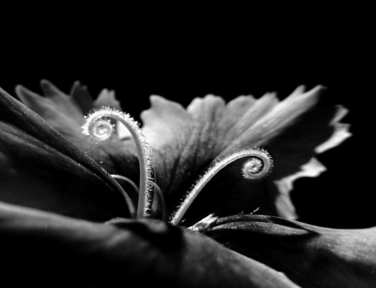 This is a story of light, darkness, and a dianthus flower in Summer 2017 Art Art Is Everywhere ArtWork Beauty In Nature Black Background Close-up EyeEm Black&white! EyeEm New Here Floral Flower Flower Head Freshness Holding Live For The Story Lowlight Macro Nature Petal